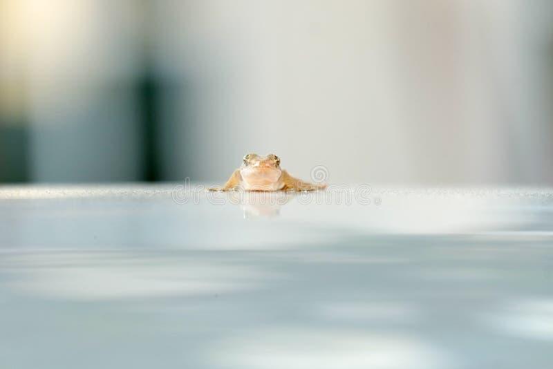 Λίγο gecko στη στέγη του αυτοκινήτου στοκ φωτογραφία με δικαίωμα ελεύθερης χρήσης