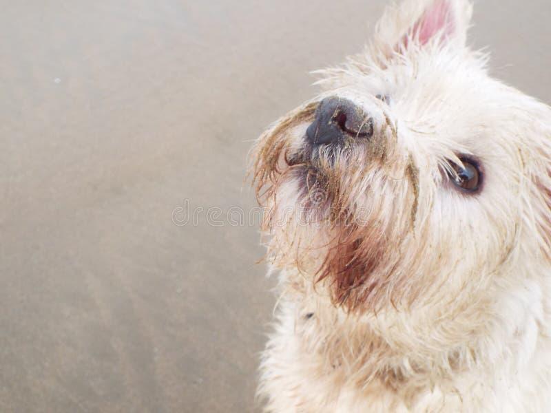 Λίγο Gus σκυλιών! στοκ εικόνες με δικαίωμα ελεύθερης χρήσης