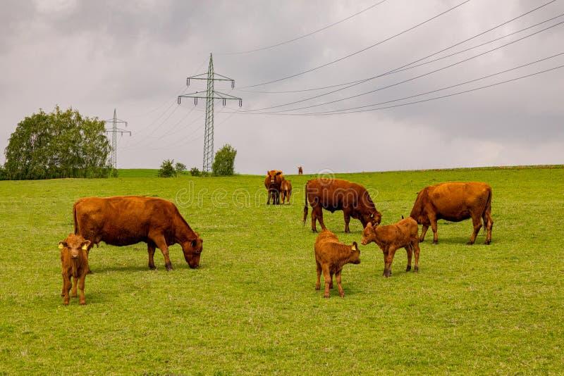 Λίγο hed των καφετιών αγελάδων και των μόσχων βοήστε σε ένα πράσινο λιβάδι στοκ φωτογραφία με δικαίωμα ελεύθερης χρήσης