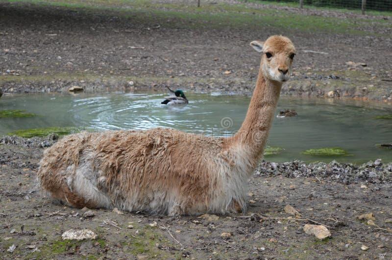 Λίγο llama που στέκεται στο πάτωμα στοκ φωτογραφίες