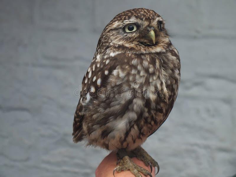 Λίγο Owl1 στοκ εικόνες