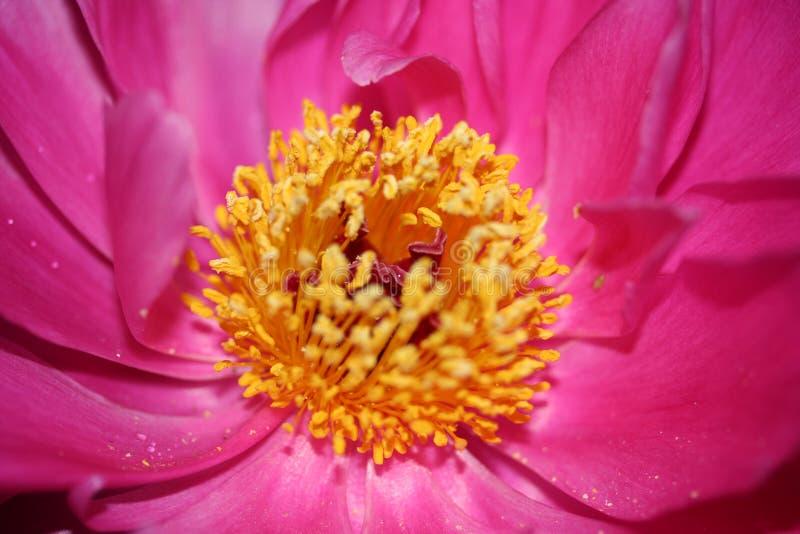 Λίκνο του λουλουδιού ζωής με τα κίτρινα pestils στοκ φωτογραφία με δικαίωμα ελεύθερης χρήσης