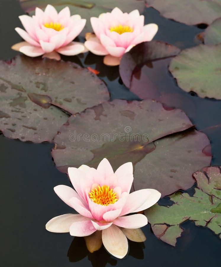 λίμνη λουλουδιών lilly στοκ εικόνα με δικαίωμα ελεύθερης χρήσης