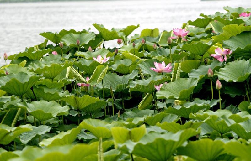 λίμνη λωτού στοκ φωτογραφίες με δικαίωμα ελεύθερης χρήσης