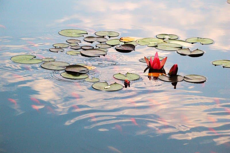 Λίμνη με τον κρίνο νερού και τα ψάρια koi στοκ φωτογραφία