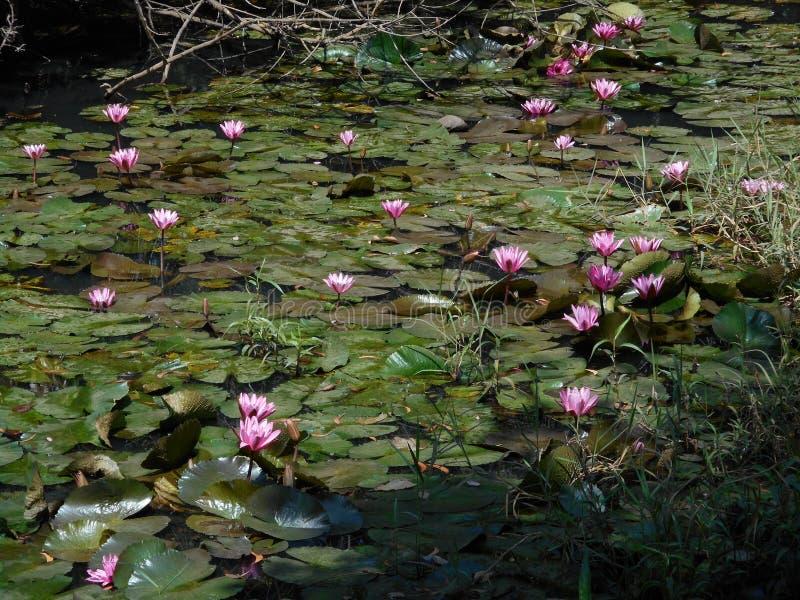 Λίμνη του νερού lillies στοκ φωτογραφίες με δικαίωμα ελεύθερης χρήσης