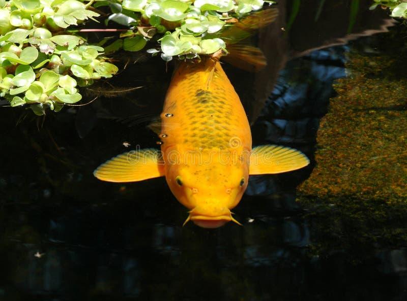 λίμνη ψαριών στοκ φωτογραφίες με δικαίωμα ελεύθερης χρήσης