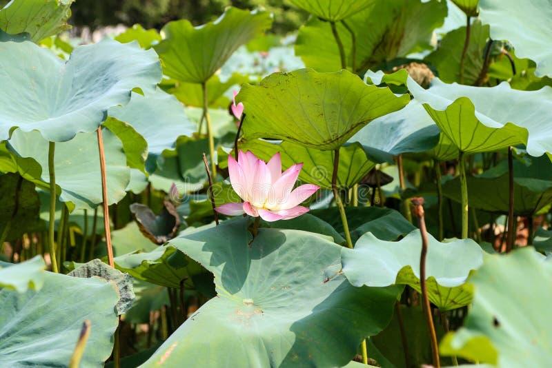 Λίμνη Lotus στοκ εικόνα με δικαίωμα ελεύθερης χρήσης