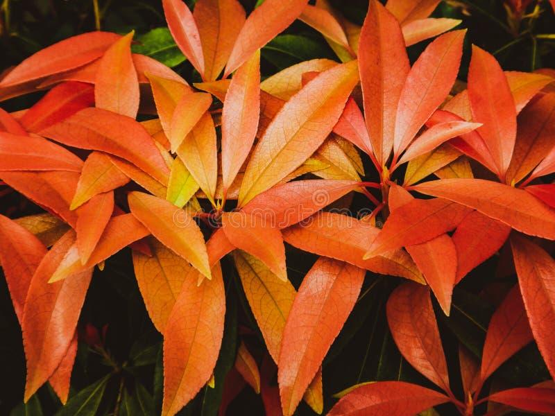 Λαμπρά κίτρινα και κόκκινα πορτοκαλιά φύλλα αύξησης άνοιξη στοκ φωτογραφίες