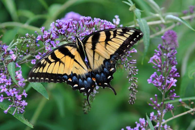 Λαμπρές τροφές πεταλούδων Swallowtail τιγρών ανυπόμονα με μια πορφυρή άνθιση θάμνων πεταλούδων στοκ εικόνα