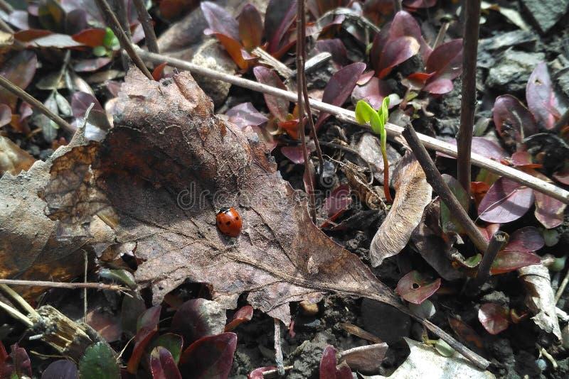 Λαμπρίτσα άνοιξη σε ένα ξηρό φύλλο στοκ εικόνα