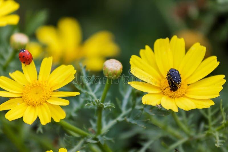 Λαμπρίτσα και κάνθαρος στα κίτρινα λουλούδια στοκ φωτογραφία με δικαίωμα ελεύθερης χρήσης