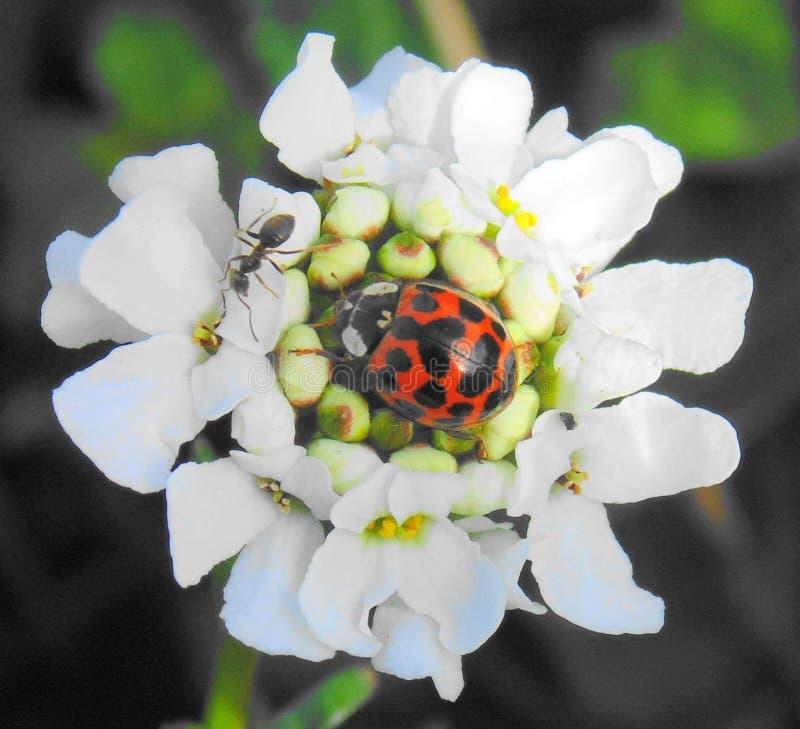 Λαμπρίτσα και μυρμήγκι στοκ φωτογραφία με δικαίωμα ελεύθερης χρήσης