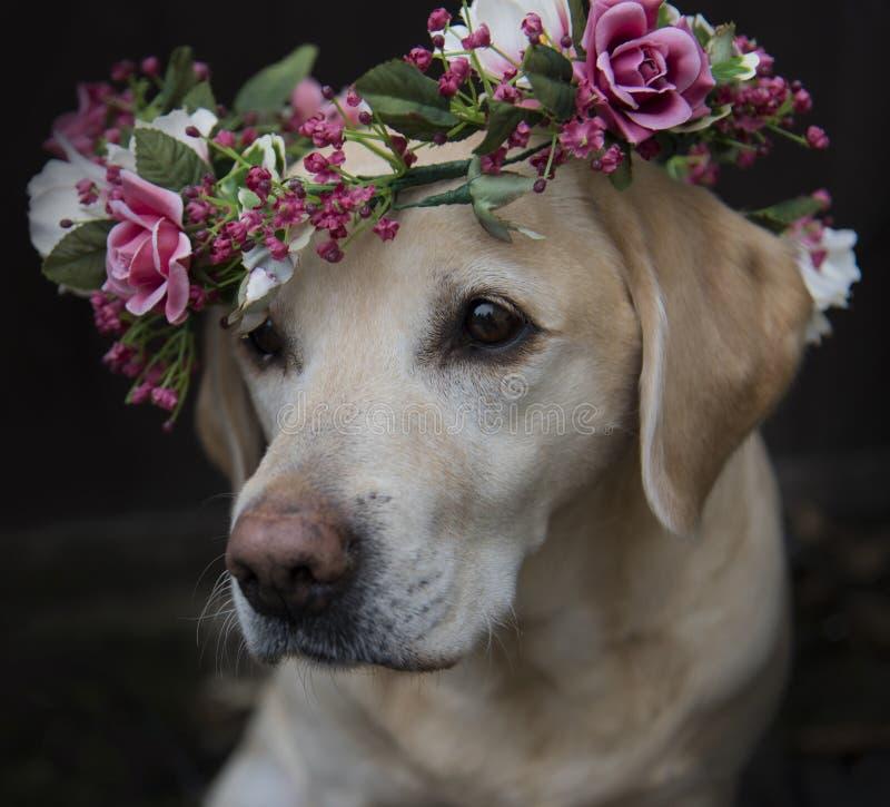 Λαμπραντόρ στο περιλαίμιο κορωνών λουλουδιών στοκ εικόνες με δικαίωμα ελεύθερης χρήσης