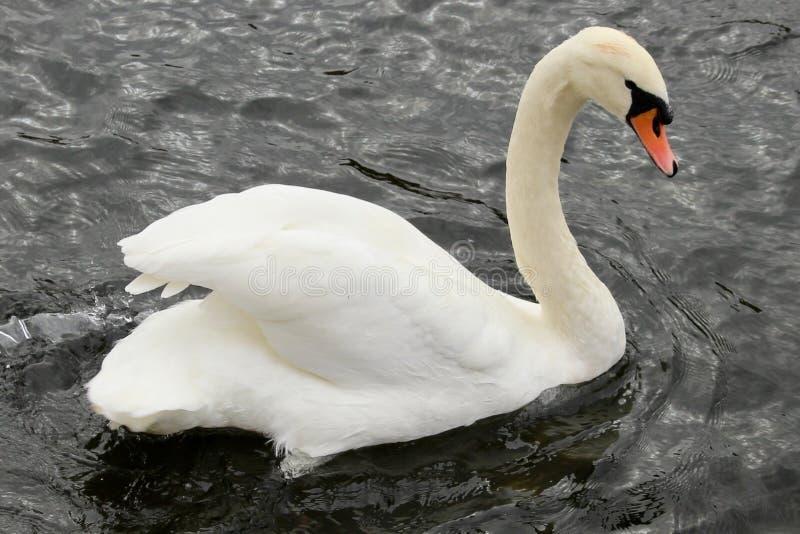Λαμπρός άσπρος κύκνος με το σχηματισμένο αψίδα λαιμό που κολυμπά αριστερά στο δικαίωμα ενάντια στο σκηνικό ενός μαύρου ποταμού στοκ εικόνες