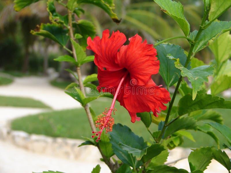 λαμπρό hibiscus κόκκινο στοκ εικόνες