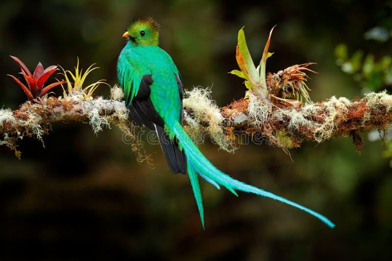 Λαμπρό QUETZAL, mocinno Pharomachrus, από Savegre στη Κόστα Ρίκα με το θολωμένα πράσινα δασικά πρώτο πλάνο και το υπόβαθρο Magnif στοκ φωτογραφία