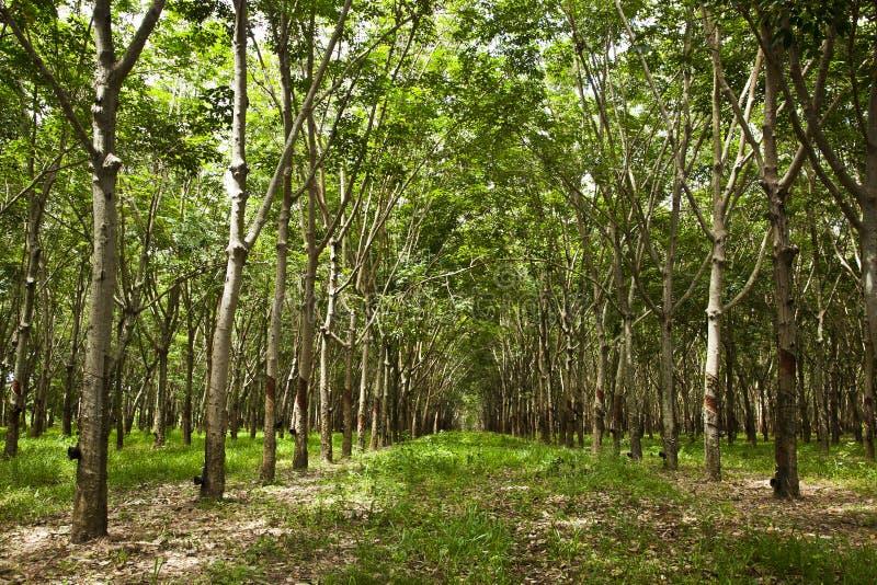λαστιχένια δέντρα στοκ φωτογραφία με δικαίωμα ελεύθερης χρήσης