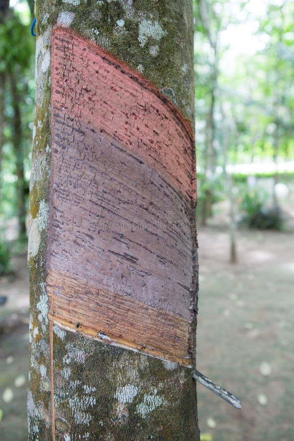 Λαστιχένια φυτεία σε Phuket στοκ φωτογραφίες