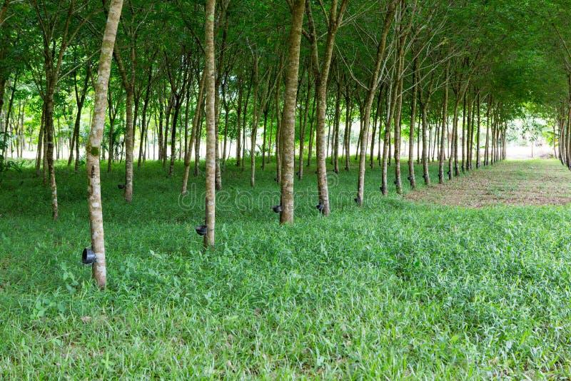 Λαστιχένια φυτεία σε Phuket στοκ φωτογραφία με δικαίωμα ελεύθερης χρήσης