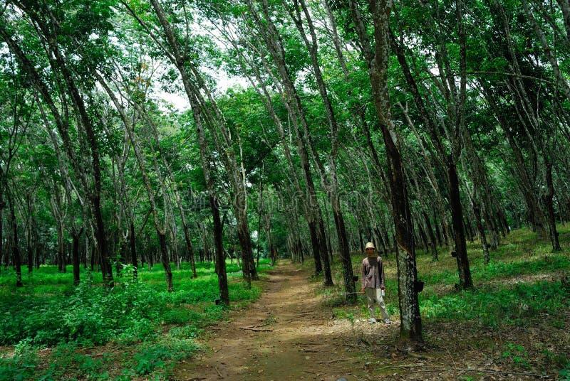Λαστιχένια φυτεία στοκ εικόνες με δικαίωμα ελεύθερης χρήσης