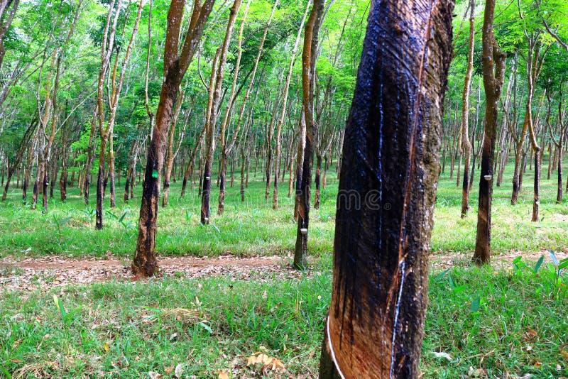 λαστιχένιο δέντρο παραγωγών λατέξ στοκ φωτογραφία