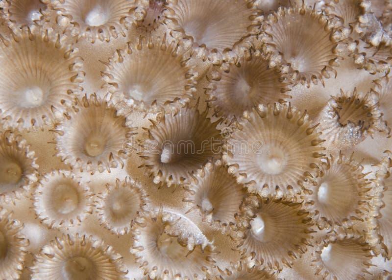 λαστιχένιο tuberculosa palythoa λεπτομέρ&eps στοκ εικόνες με δικαίωμα ελεύθερης χρήσης