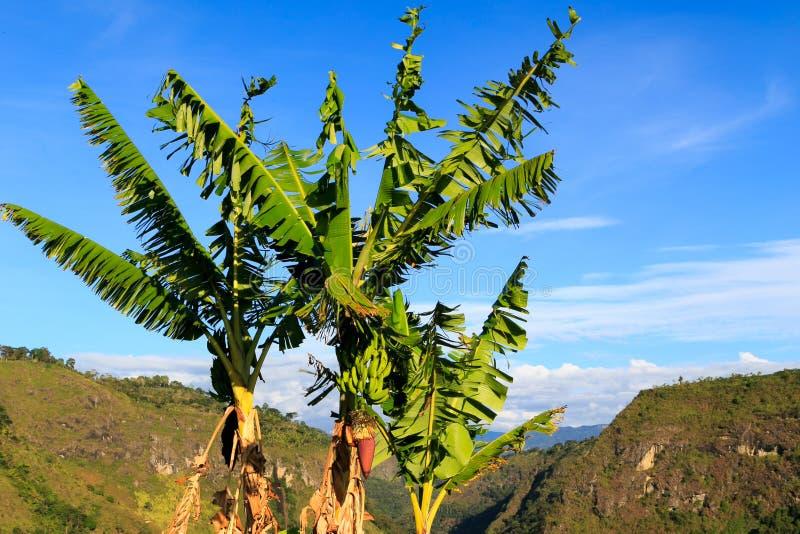 Λατινική Αμερική της Νότιας Αμερικής ζουγκλών της Κολομβίας μπανανών palmes στοκ εικόνα με δικαίωμα ελεύθερης χρήσης