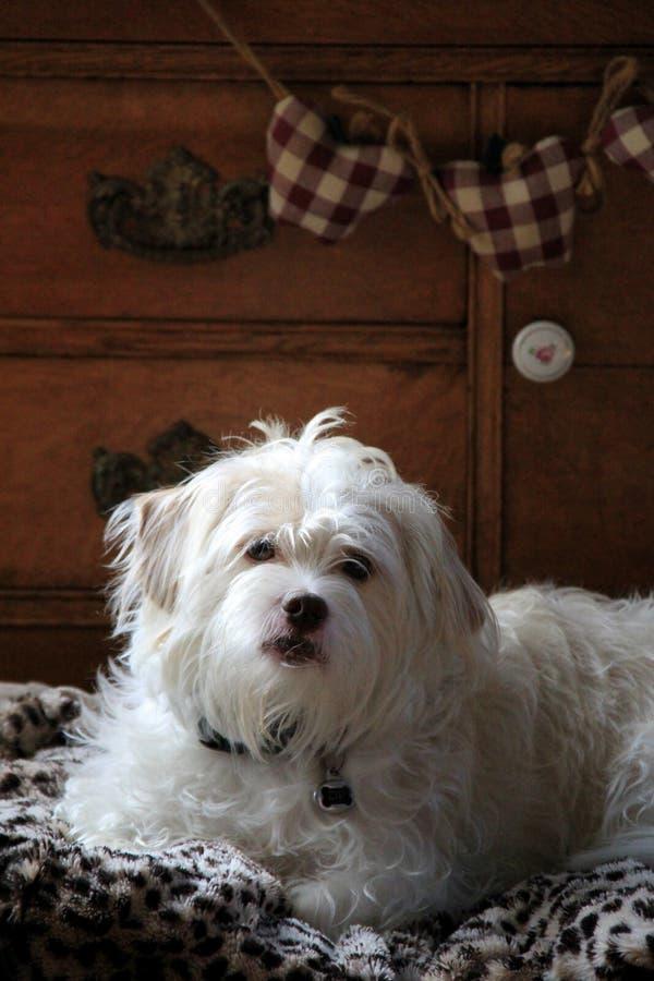 Λατρευτή μικτή φυλή του tzu Shih και κουτάβι τεριέ στο κρεβάτι σκυλιών στοκ εικόνα με δικαίωμα ελεύθερης χρήσης
