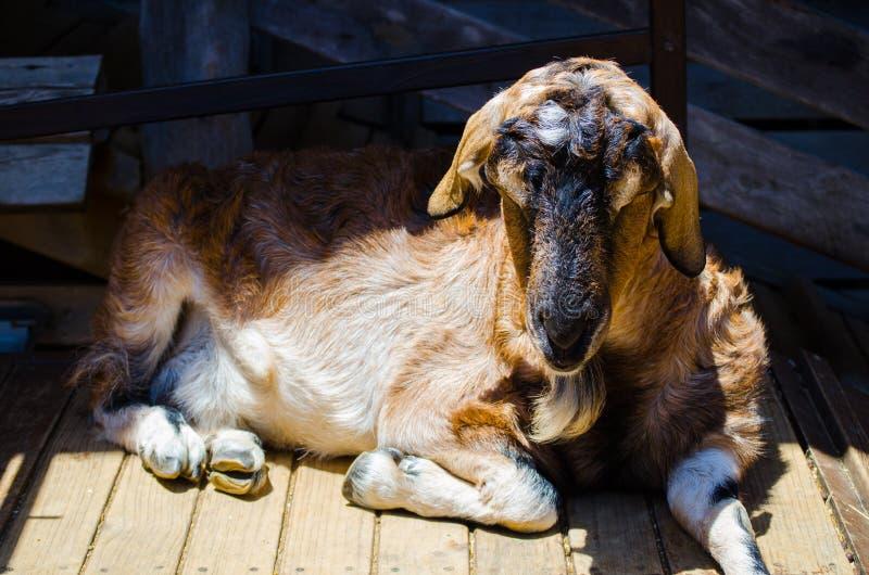 Λατρευτή χαριτωμένη καφετιά αίγα που στηρίζεται και που κοιμάται μόνο σε έναν ζωολογικό κήπο στοκ εικόνες