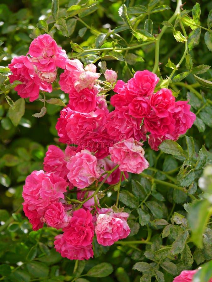 Λατρευτός θάμνος των τριαντάφυλλων που φαίνονται πέταλα προς τα κάτω με τα ακιδωτά πράσινα όμορφα λουλούδια μίσχων που διακοσμούν στοκ φωτογραφία με δικαίωμα ελεύθερης χρήσης