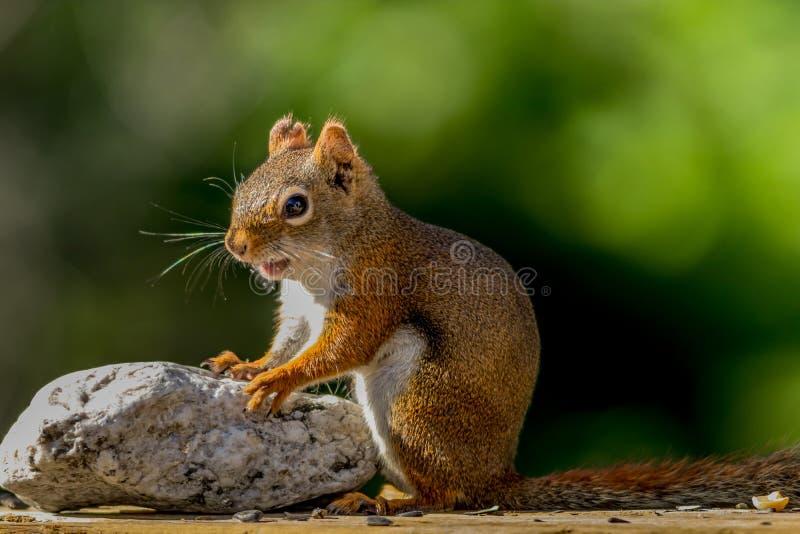 Λατρευτός λίγος κόκκινος σκίουρος χαμογελά και βάζει τα χέρια στο βράχο στοκ φωτογραφία