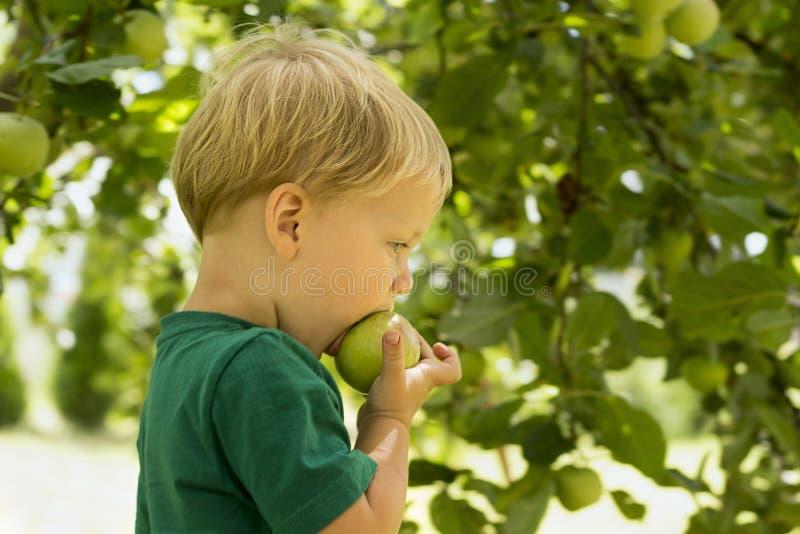Λατρευτός λίγο προσχολικό αγόρι παιδιών που τρώει το πράσινο μήλο στο οργανικό αγρόκτημα τρόφιμα υγιή Αντίγραφο συγκομιδών cpace στοκ εικόνες με δικαίωμα ελεύθερης χρήσης