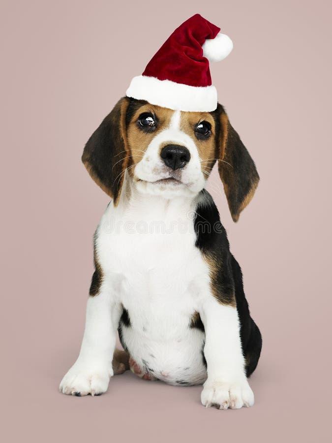 Λατρευτό κουτάβι λαγωνικών που φορά ένα καπέλο Santa στοκ εικόνες
