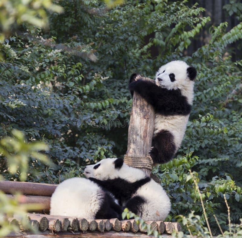 Λατρευτό μωρό Pandas στοκ εικόνες