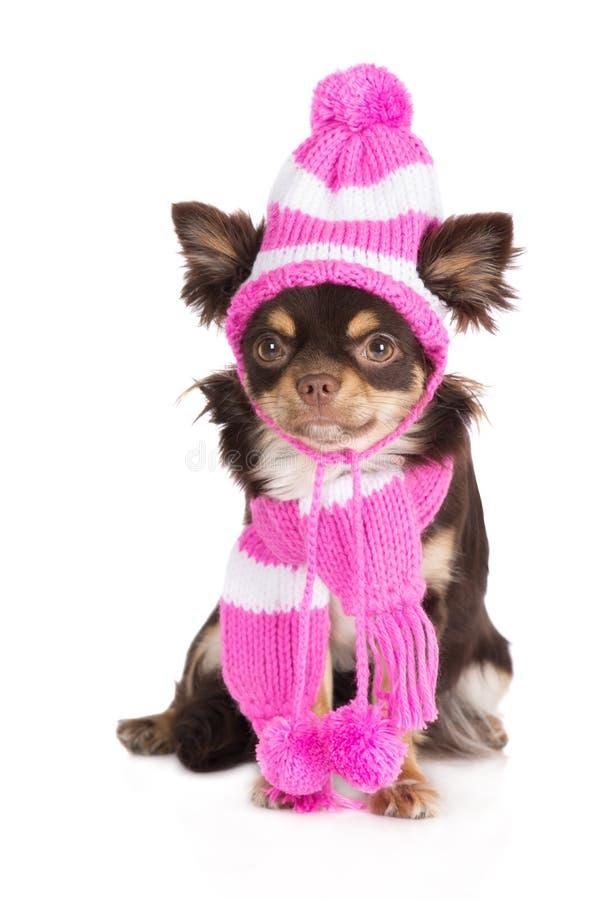 Λατρευτό σκυλί chihuahua σε ένα καπέλο και ένα μαντίλι στοκ εικόνες