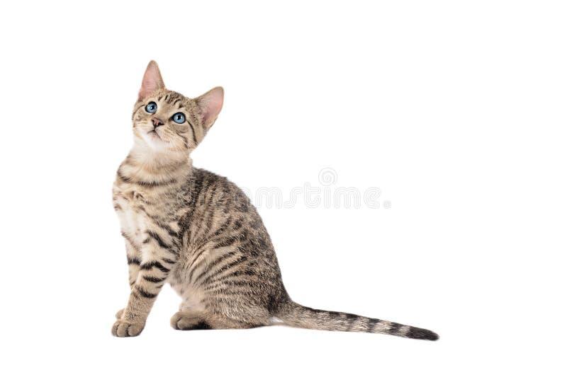 Λατρευτό τιγρέ γατάκι με μια μακριά ουρά στοκ φωτογραφία με δικαίωμα ελεύθερης χρήσης