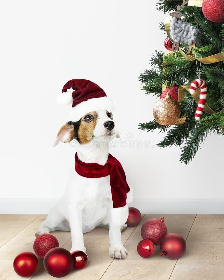 Λατρευτό Retriever του Jack Russell κουτάβι που φορά ένα καπέλο Santa στοκ φωτογραφία με δικαίωμα ελεύθερης χρήσης