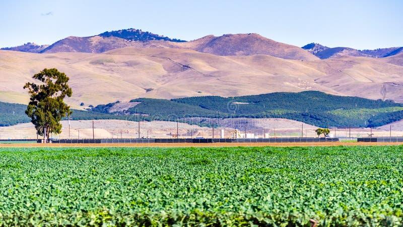 Λαχανάκια Βρυξελλών που αναπτύσσονται σε αγρό· Οπτικός οπτικός δίσκος των εσπεριδοειδών ορατό στους λόφους στο φόντο· Κομητεία Sa στοκ φωτογραφίες με δικαίωμα ελεύθερης χρήσης