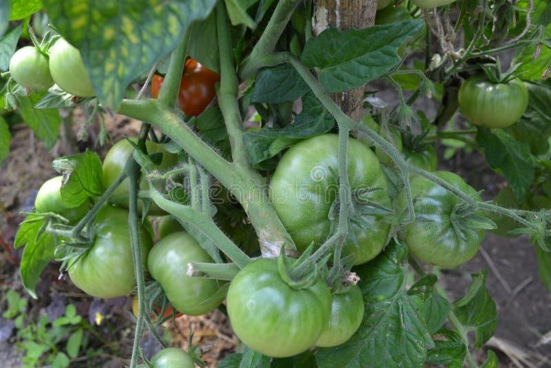 Λαχανικά, ντομάτες συγκομιδή, πράσινα τρόφιμα, garde στοκ φωτογραφία