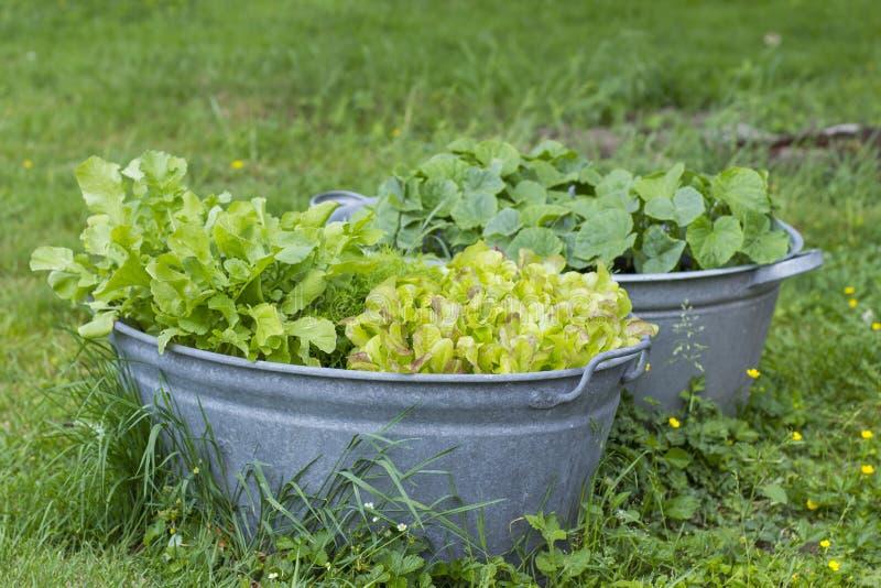 Λαχανικά στις παλαιές σκάφες πλυσίματος στοκ εικόνες