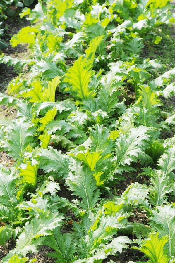 λαχανικό κήπων πεδίων στοκ εικόνες με δικαίωμα ελεύθερης χρήσης