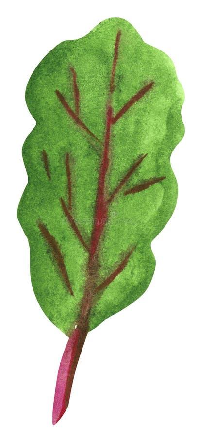 Λαχανικό, πράσινα τεύτλων, συρμένη χέρι απεικόνιση watercolor ελεύθερη απεικόνιση δικαιώματος