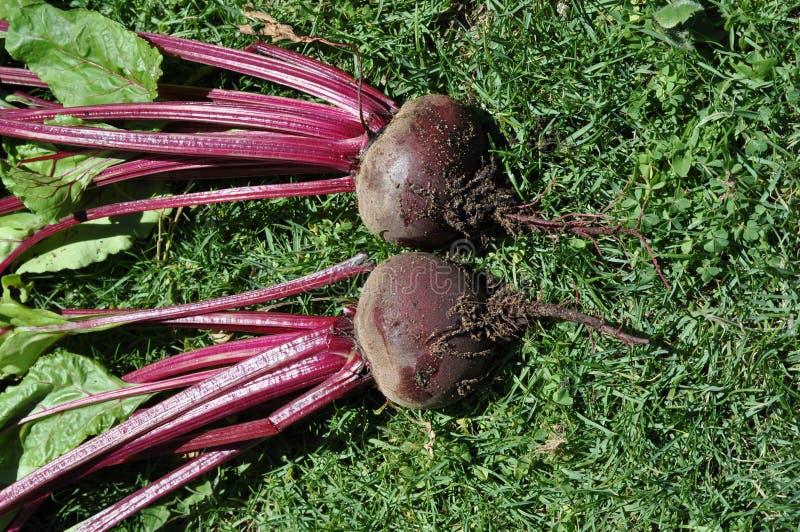 Λαχανικό δύο φρέσκο βολβών παντζαριών στο χορτοτάπητα με τα φύλλα στοκ φωτογραφία