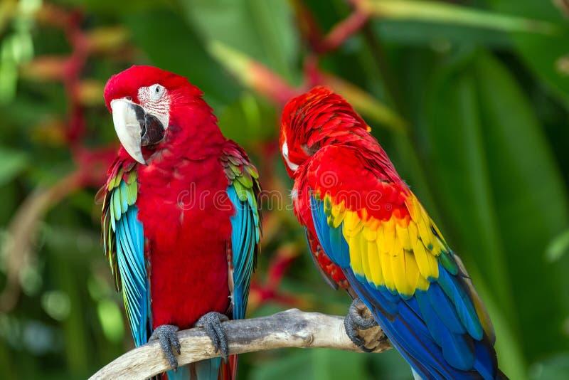 Λειμώνια και ερυθρά macaws στη φύση στοκ εικόνες με δικαίωμα ελεύθερης χρήσης