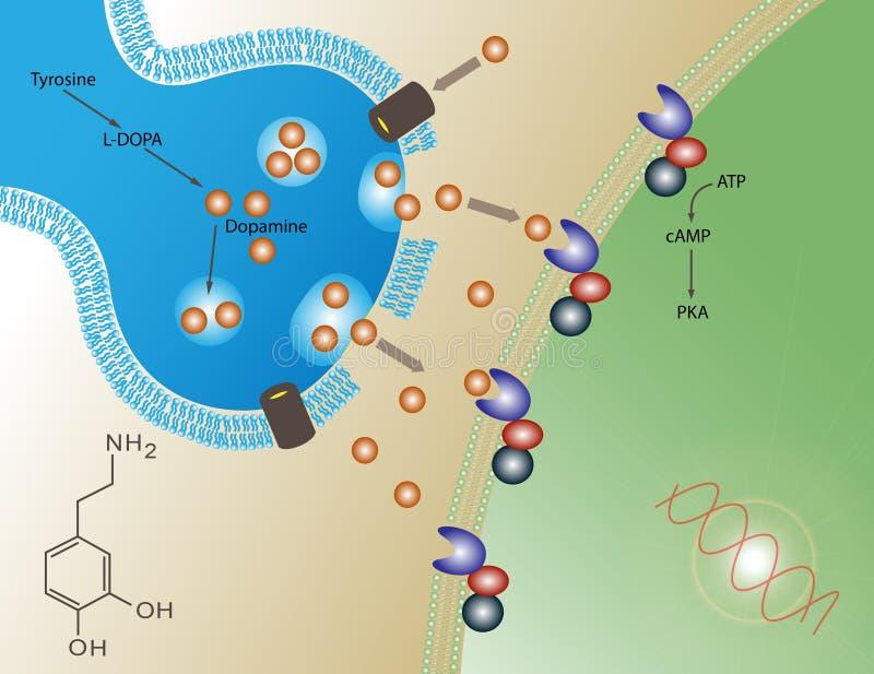 λειτουργία ντοπαμίνης διανυσματική απεικόνιση