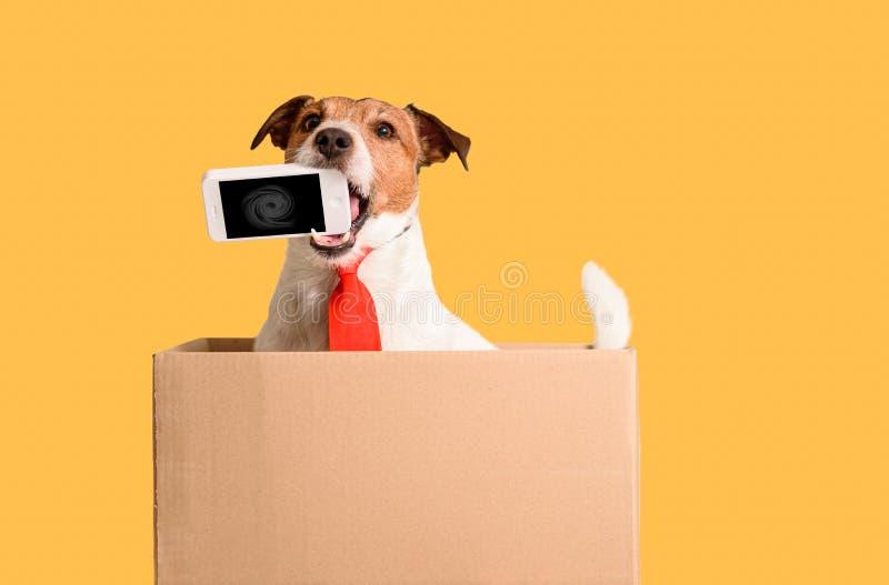 Λειτουργεί χωρίς πλαίσιο με τηλέφωνο που κρατά ο σκύλος στο στόμα και κάθεται στο κουτί στοκ φωτογραφία με δικαίωμα ελεύθερης χρήσης