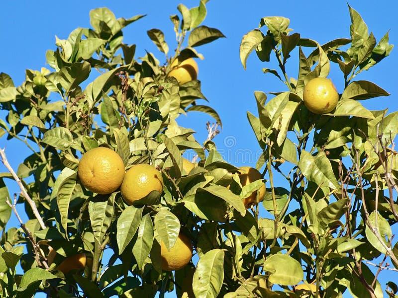 Λεμόνια που σε ένα δέντρο λεμονιών στοκ φωτογραφία με δικαίωμα ελεύθερης χρήσης
