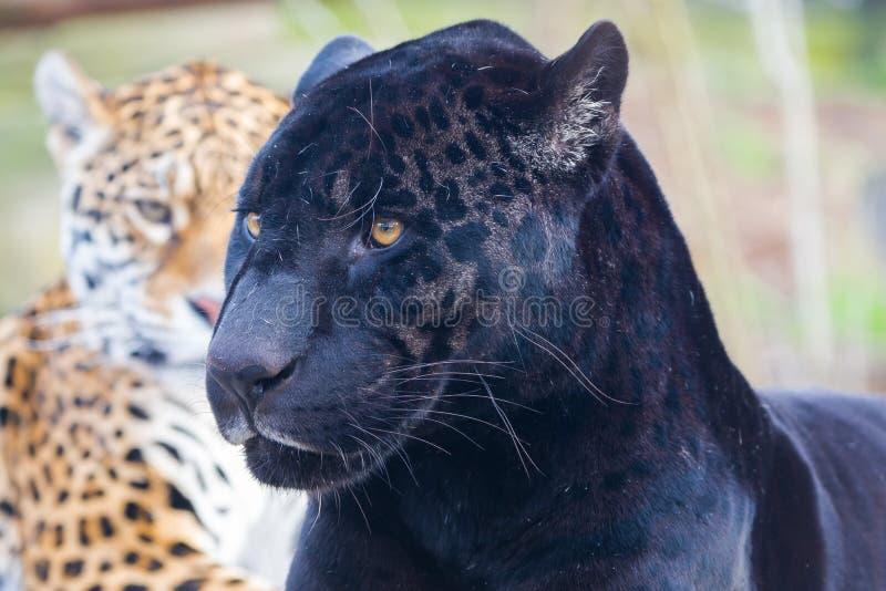 Λεοπάρδαλη, ζώο στοκ φωτογραφία με δικαίωμα ελεύθερης χρήσης