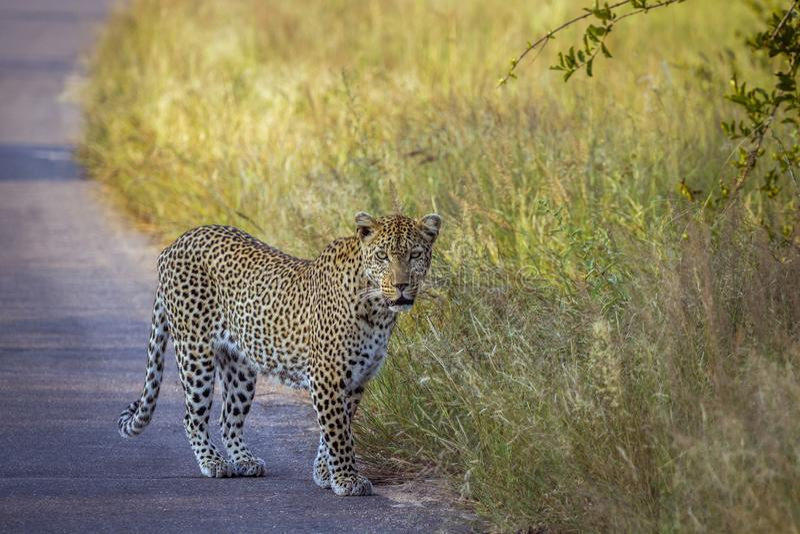 Λεοπάρδαλη στο εθνικό πάρκο Kruger, Νότια Αφρική στοκ φωτογραφίες με δικαίωμα ελεύθερης χρήσης